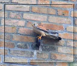 Photo: Tornfalk, hane - Falco tinnunculus - Common Kestrel, male NF Photo 111004, Falsterbo Fyr http://nfbird.blogspot.com/2011/12/tornfalk-falco-tinnunculus-common.html