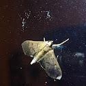 Dusky herpetogramma moth