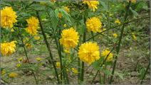Photo: Trandafir domnesc - Teisor, (Kerria Japonica)    de pe Aleea Plopilor - 2016.04.09 album http://ana-maria-catalina.blogspot.ro/2016/04/trandafir-domnesc-kerria-japonica.html