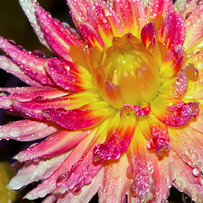 by D. Bruce Gammie - Nature Up Close Flowers - 2011-2013 ( dew, pink, yellow, rain, flower )