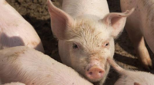 Una gripe porcina descubierta en China podría convertirse en la próxima pandemia