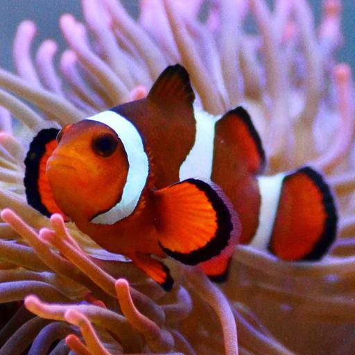 Live Clown Fish Wallpaper Google Play дүкеніндегі