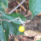 Smooth Ground Cherry