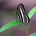 Striped ringlet butterfly