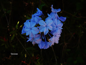 Photo: Plumbago Tony Provenzano