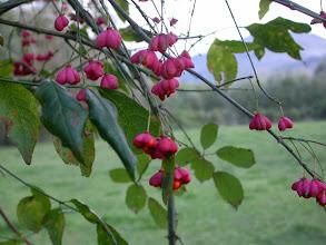 """Photo: Fruits du fusain, encore appelé """"Bonnet carré"""""""