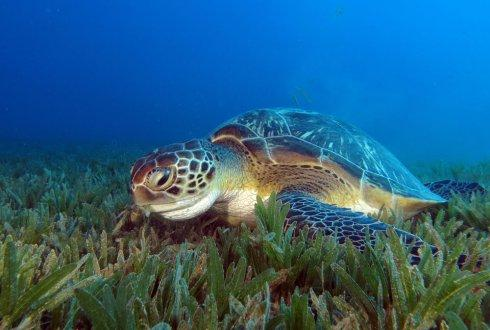 Resulta ng larawan para sa green sea turtles eating