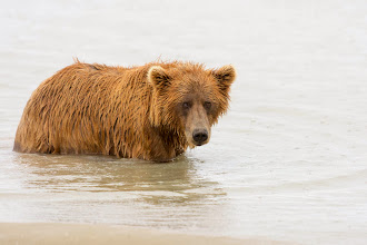 Photo: Bear in water
