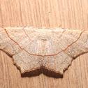 Oak Besma - 6885