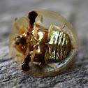Aspidomorpha sp. Tortoise shell beetle