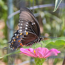 Swallowtail on pink flower by Mary Gallo - Animals Insects & Spiders ( pink flower, butterfly, nature, pink, insect, swallowtail,  )