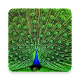 Peacock Picture Wallpaper Download on Windows