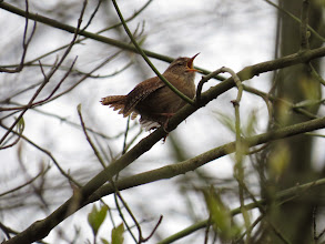 Photo: Priorslee Lake What a lot of noise. A Wren at full throttle spreads the wings and tail and partly closes its eyes with the effort! (Ed Wilson)
