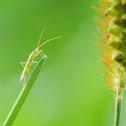 Pentatomidae 蝽