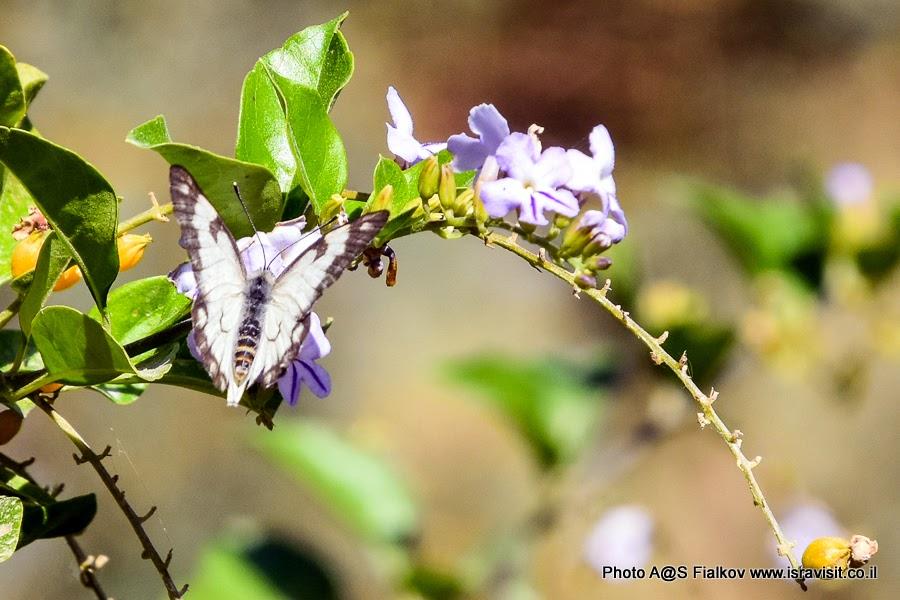 Бабочка. Экскурсия в Иудейской пустыне. Израиль.