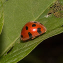 12-spotted Lady Beetle