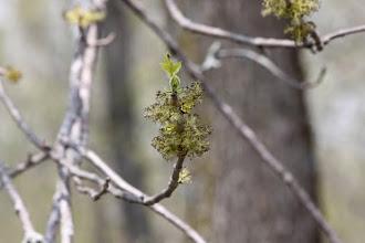 Photo: Green Ash (Fraxinus pennsylvanica), male ash flowers
