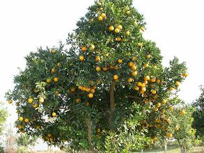 Photo: Portakallar bu sene bol. Patara - 12.11.2011