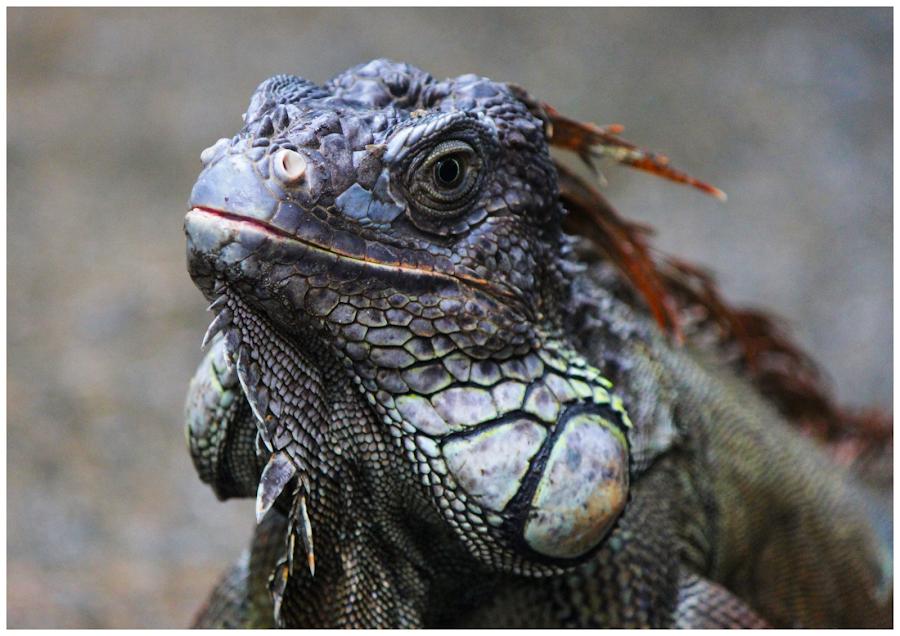 Calm Monitor Lizard by Arunkumar Boyidapu - Animals Reptiles ( calm, scary, lizard, monitor, singapore, closeup,  )