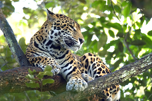 Belize-jaguar.jpg - Of the five native species of wildcats found in Belize's rainforest, it's the magnificent jaguar that visitors to Belize most want to see.