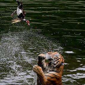 Come to Papa... by Baron Danardono Wibowo - Animals Lions, Tigers & Big Cats