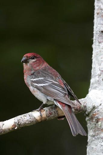 avalon-peninsula-newfoundland-bird.jpg - A native bird on Avalon Peninsula in Newfoundland.