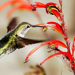 Anna's Hummingbird (female) by Andrew Johnson - Animals Birds ( bird, nature, hummingbird, wildlife, animal,  )