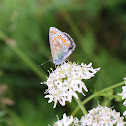 Common blue, Hauhechel-Bläuling