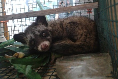 Roosy Muse, a Common palm civet, found his way into a resident's house.