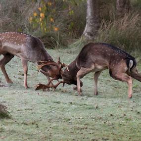 Getting Stuck In by Russell Mander - Animals Other Mammals ( rut, breeding season, deer fights, fighting, fallow deer )