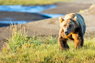 Photo: A bear on a mission