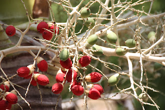 Photo: Year 2 Day 29 - Berries on a Palm Tree #3