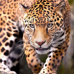 by Dennis Bartsch - Animals Lions, Tigers & Big Cats (  )