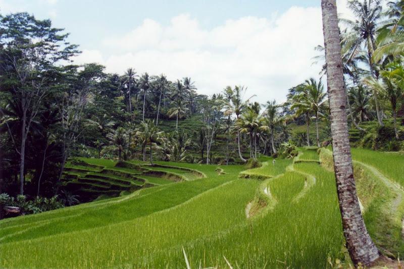 Photo: #136-Indonésie. Rizières en terrasse à Bali