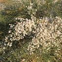 White Broom