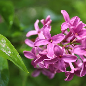 Lilac After the Rain by Jennifer Smusz - Nature Up Close Trees & Bushes ( #purple, #puremichigan, #spring, #blooms, #lilacs, #lilacbush )