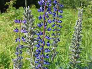 Photo: Карельские цветы