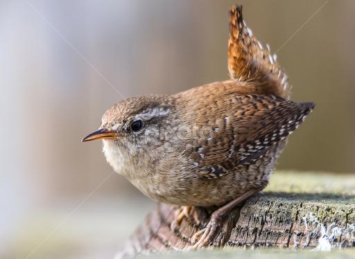 Zaunkonig Birds Animals Pixoto