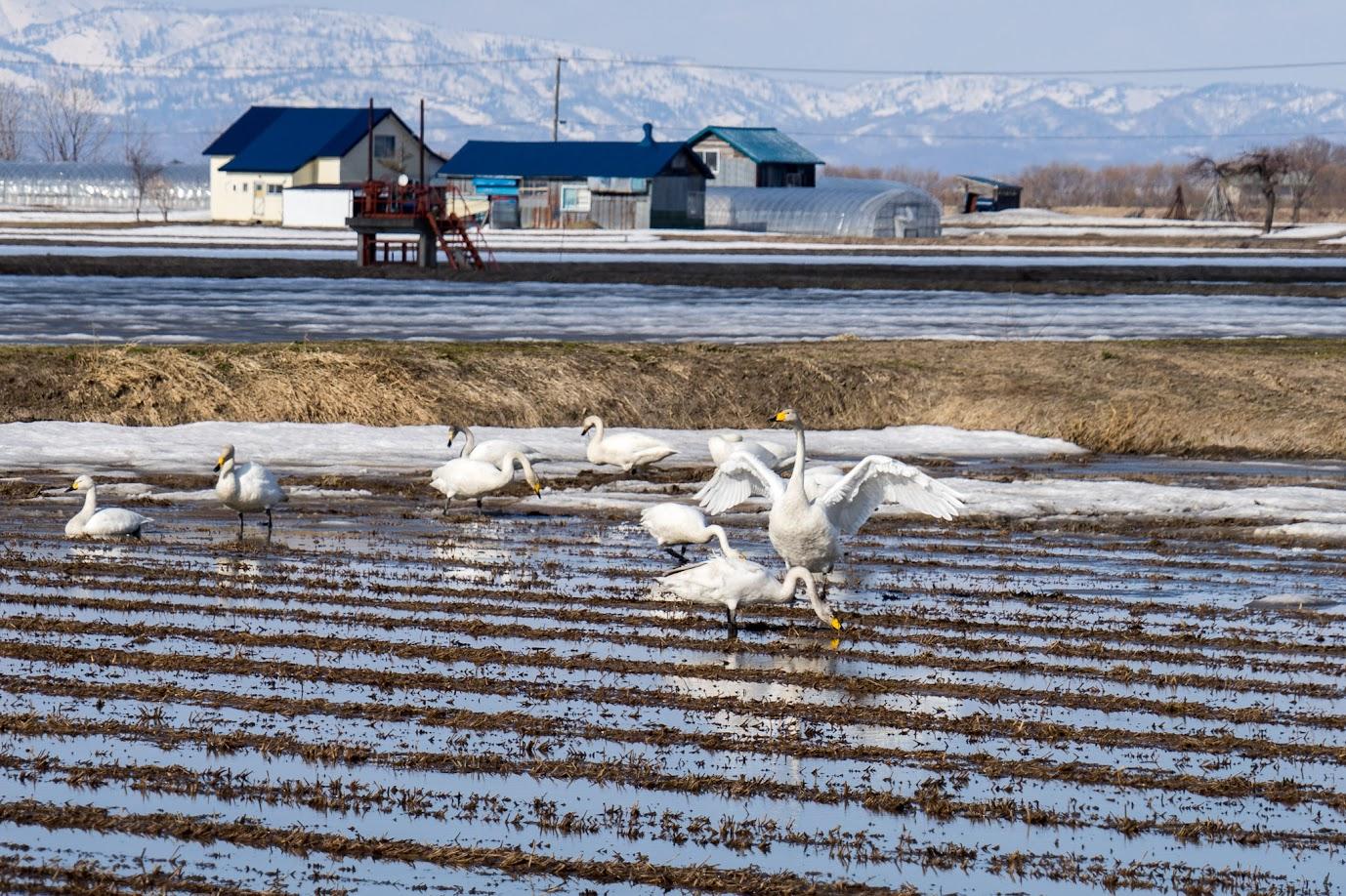 白鳥たちが落穂をついばむ風景