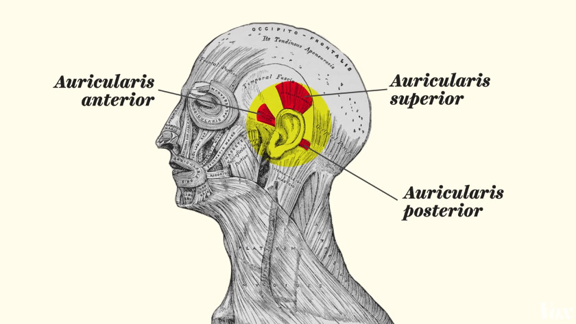 v ear muscles