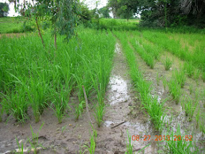 Photo: The subplot on the left is transplanted NERICA 6 rice while the right is machine seeded Sayel 108 variety. These plots are from the Kaffrine Region, Senegal, West Africa. [Photo by Lorraine Perricone- Dazzo, August 2013]