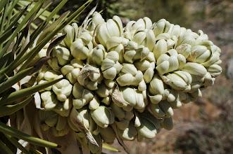 Photo: Johusa tree panicle (flower cluster)
