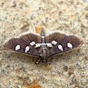 Grape Leafroller/Leaffolder Moth