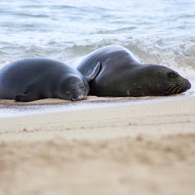 Rocky & Kaimana  by Michael Guerrero - Animals Sea Creatures ( hawaiian monk seals, waikiki beach, surf )