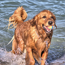 Playing on Meneset Beach by Terry Saxby - Animals - Dogs Playing ( play, ball, saxby, canada, ontario, terry, lake huron, dog, water,  )