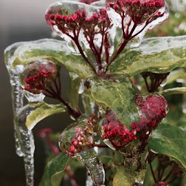 My Ice Storm Art.  Photo by Janet Young-Abeyta by Janet Young- Abeyta - Nature Up Close Other Natural Objects