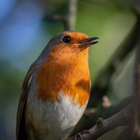 Happy robin by Danny Charge - Animals Birds ( robin, bird, tree, animal, wild, cute, wildlife )