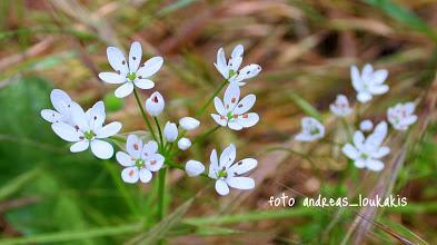 Photo: ΑΓΡΙΟΣΚΟΡΔΟ allium subhirsutum ΦΑΡΑΓΓΙ ΚΑΡΤΕΡΟΥ Οικογένεια: LILIACEAE πολυετές φυτό υψ. μέχρι 60 εκ., με βλαστό κυλινδρικό και λεπτό. Φύλλα 2-3 με πλάτος 2-10 χλσ., βλεφαριδωτά. Τα άνθη του είναι μικρά, λευκά, με μακριούς ποδίσκους, μέχρι 40 χλσ., που παρουσιάζονται όλα μαζί συγκεντρωμένα σε ροζέτες με ανθήρες κίτρινους ή μαύρους. Ανθίζει μεταξύ Απριλίου και Ιουνίου.