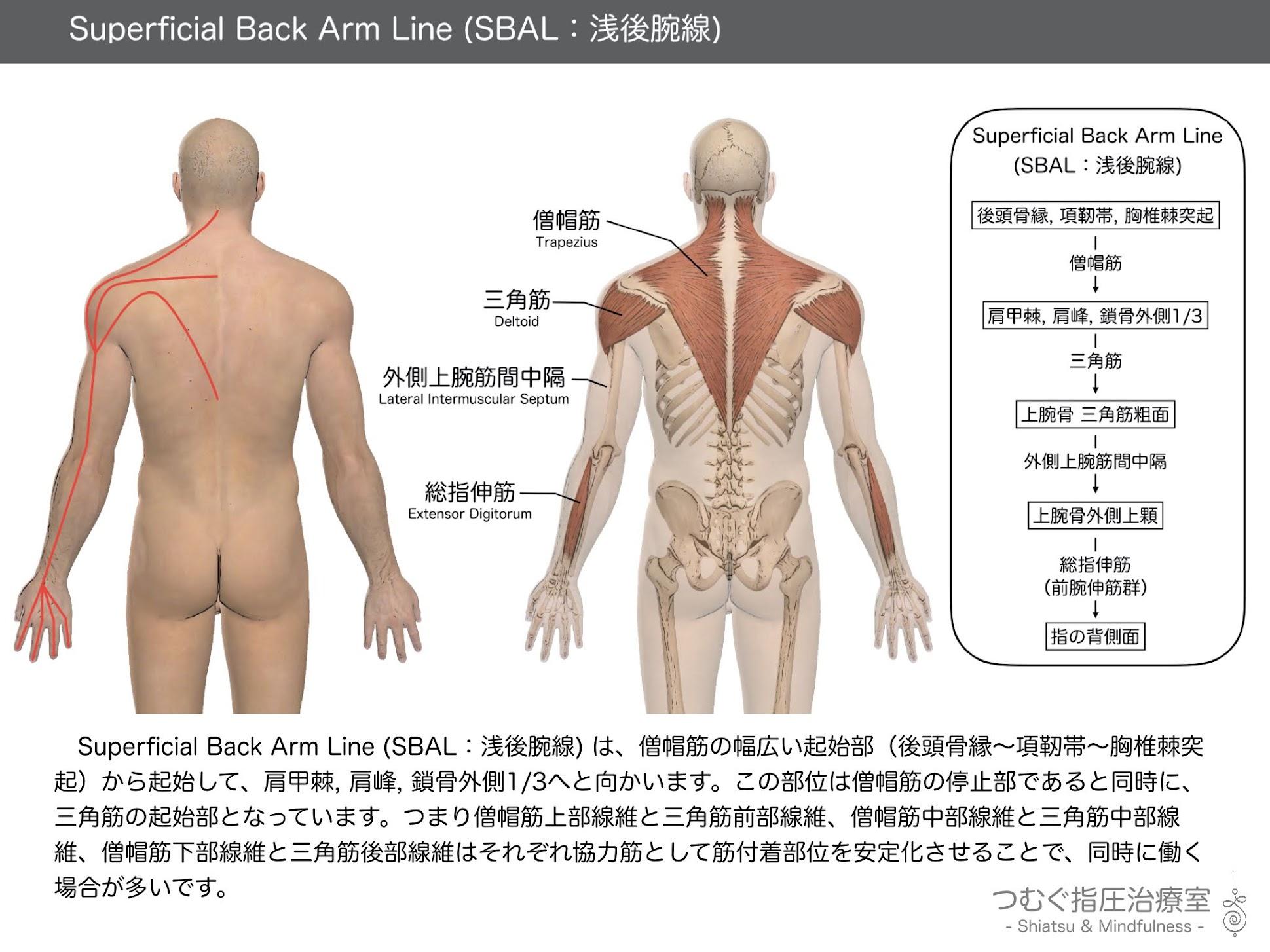 Superficial Back Arm Line (SBAL:浅後腕線)