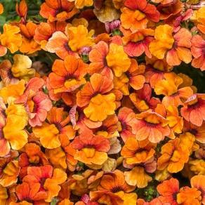 Sunsatia® Blood Orange - Nemesia hybrid